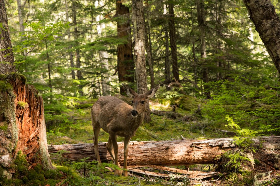Mount Rainier Deer