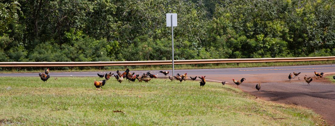 Chickens of Hawaii