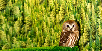 Baby Spotted Owl
